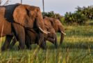 Traveler Story: Elephant Family at Sundown in Botswana