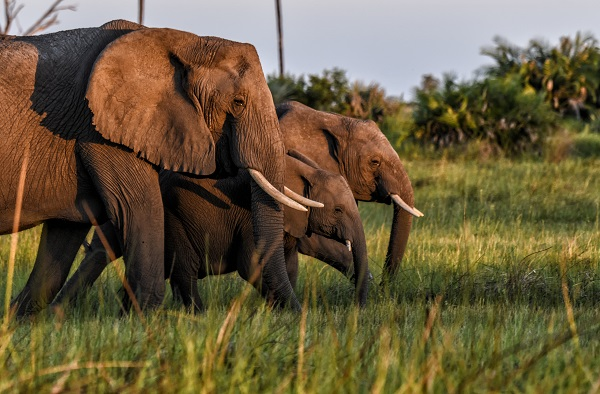 Elephants display complex social and emotional behavior, and are said to value their families more than most animals.
