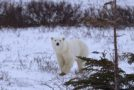 Traveler Story: Churchill Polar Bears on Halloween