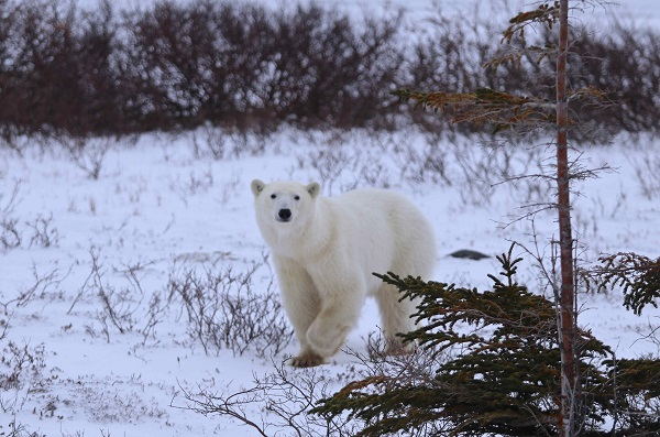 Female polar bear on the Churchill tundra