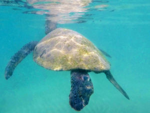 Adrift with green sea turtles
