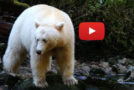 Spirit Bear Videos: A Look into Lives of Peace and Harmony