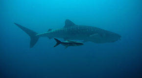 Mysterious Sharks: Great Gatherings and Long Lives