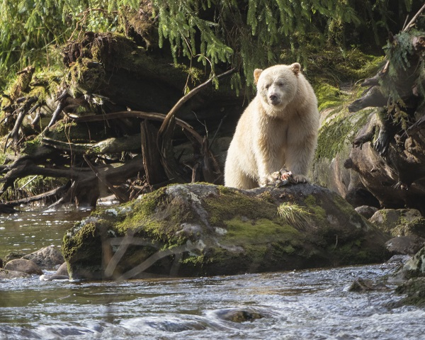 White bear in BC