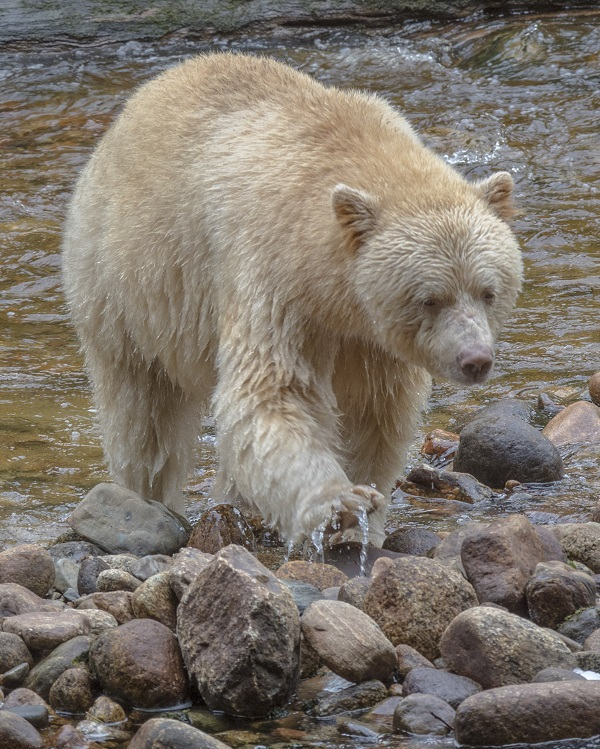 Spriit bear in the Great Bear Rainforest