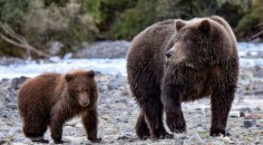Traveler Story: Surrounded by Bears in Alaska