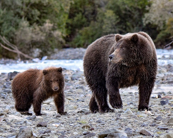 Grizzly bear cub and mother