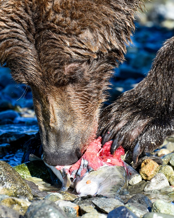 Grizzly bear eating salmon in Alaska