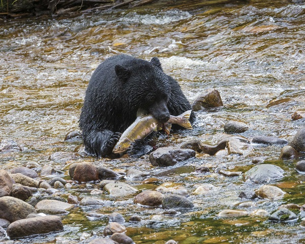 Black bear with salmon in British Columbia