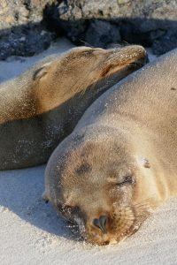 Sea lions sleeping in the Galapagos