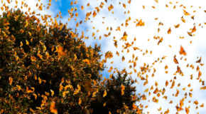 Monarchs: Poetry in Motion