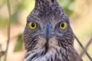 Wildlife Photo of the Week: Crested Hawk Eagle