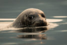 Wildlife Photo of the Week: Misty Morning Harbor Seal