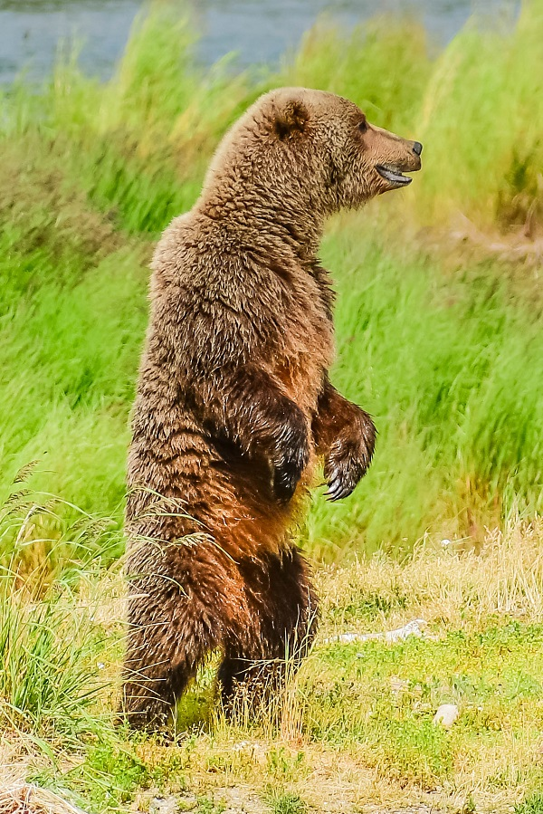 Brown bear standing at Brooks Falls, Alaska