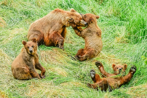 Grizzly bear cubs and mother at Brooks Falls, Alaska
