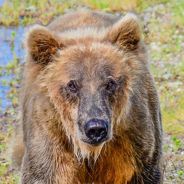 Brown bear in Katmai, Alaska