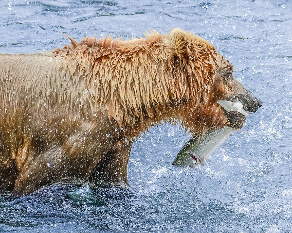 Brown bear catching salmon at Brooks Falls, AK