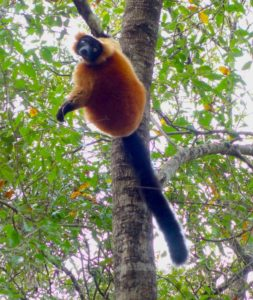 Red ruffed lemur in the trees.