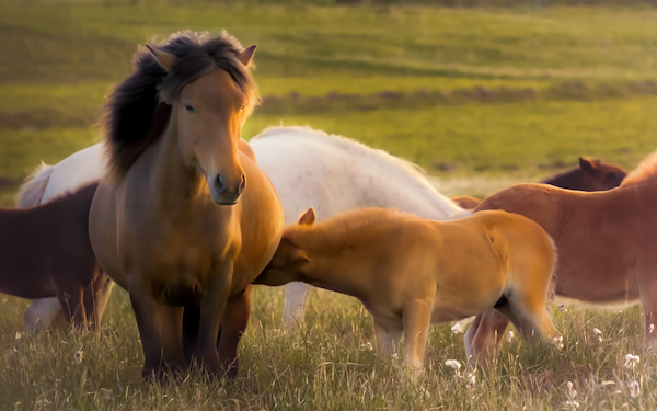 Icelandic horses in a meadow.