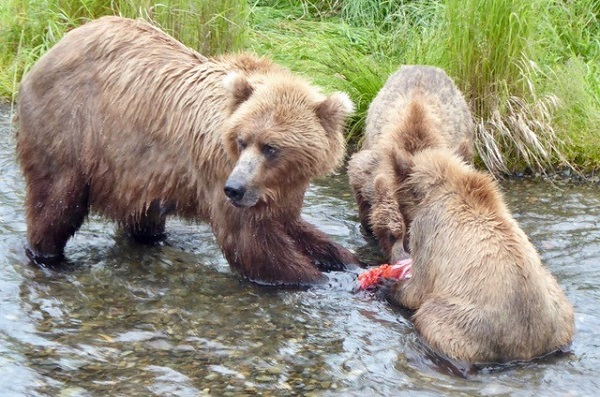 Mama grizzly and cubs in Katmai