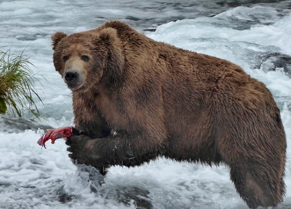 Grizzly bear with salmon at Brooks Falls