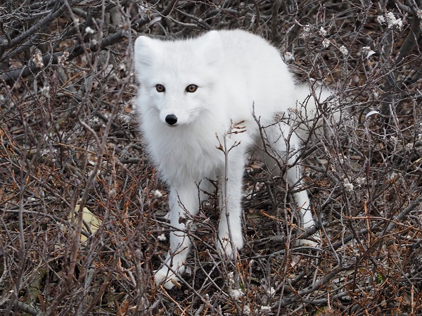 Arctic fox Churchill
