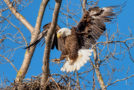 Wildlife Photo of the Week: Bald Eagle Beauty