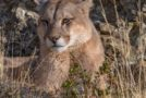 Wildlife Photo of the Week: Patagonian Puma