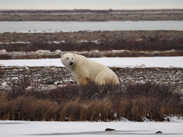Polar bear on the Churchill tundra