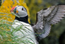Cuteness Overload: A Scotland Puffins Photo Essay