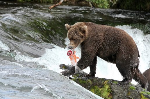 Traveler Stories: Bears of Brooks Falls, Alaska