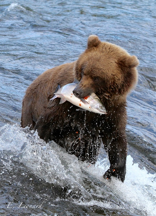 Brown bear with salmon at Brooks Falls, Alaska