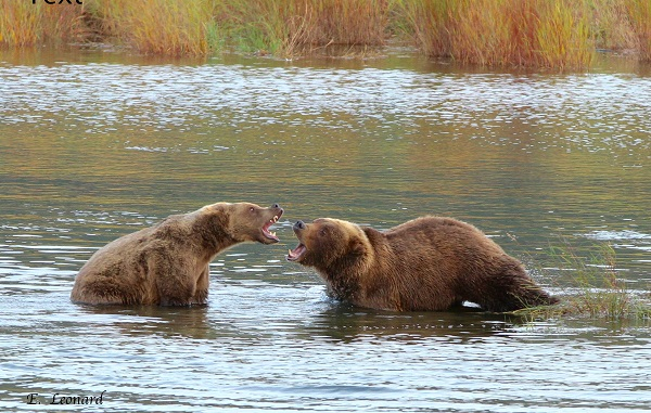 Brown bears battling