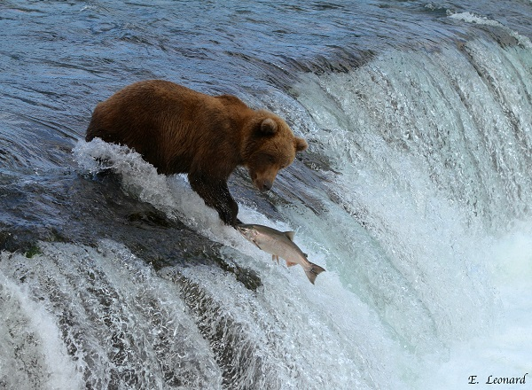 Brooks Falls brown bear and salmon