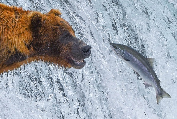 Bear and fish at Brooks Falls, Alaska