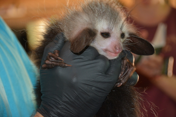 Aye-aye infant with the Madagascar Biodiversity Partnership.