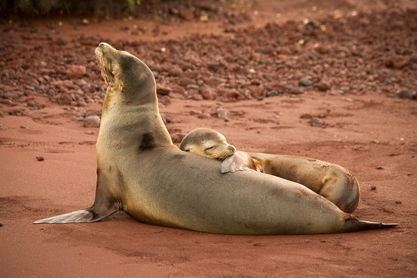 Wild sea lion mother and pup on a beach in Galapagos