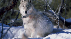 Audio Tale: Wolf Encounter in Glacier Bay National Park