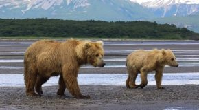 Balancing with the Bears of Katmai