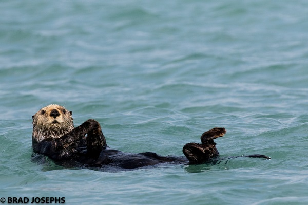 Wild sea otter swimming in Alaska