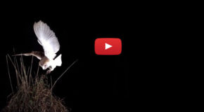 Halloween Video: Barn Owls, Hunters in the Night
