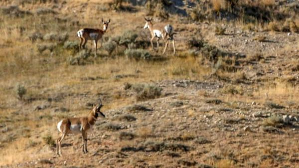 Pronghorn in the Tetons