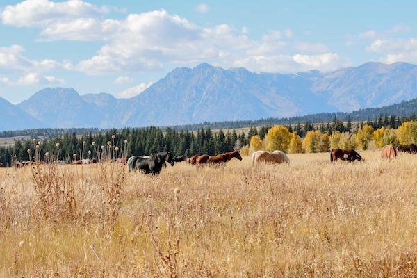 Horses in the Tetons.