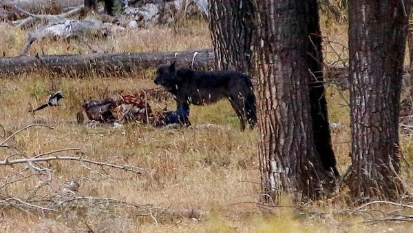Wolf in Yellowstone eating carcass.