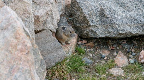 Pika along the Bear Tooth Highway