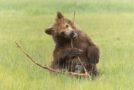 Photographing Wild Bears in Alaska