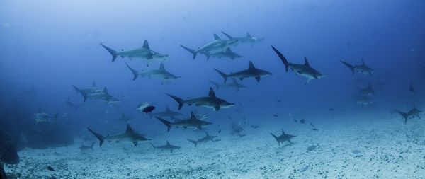 Sharks swimming together