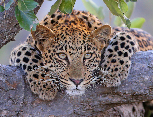 Leopard in a tree in Botswana.