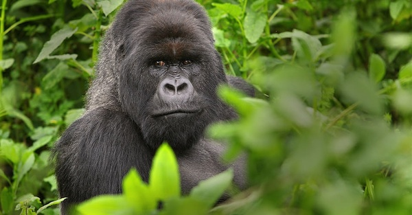 Gorilla, Bwindi Impenetrable National Park, Uganda