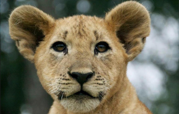 Lion cub in Zimbabwe.